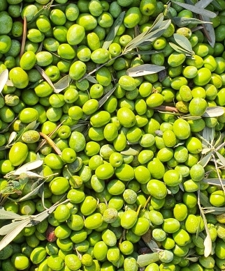 Green olives on harvest time